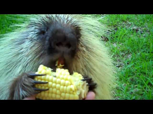 """Teddy Bear,"" the porcupine, doesn't like to share…"