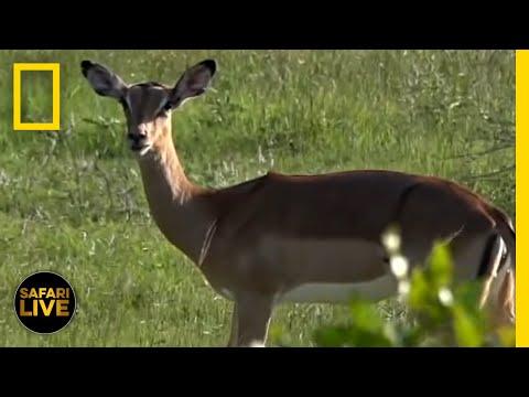 Safari Live - Day 138 | National Geographic