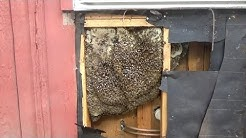 Bees in a wall. Removal and relocation.