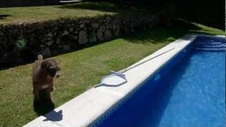 Perro de aguas buceando (spanish water dog diving in the pool)