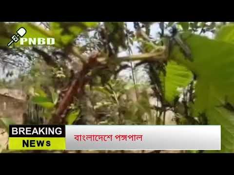 পঙ্গপালের হানা বাংলাদেশের টেকনাফে | Pongopal Attack  Bangladesh