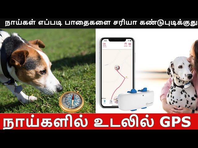 நாய்கள் எப்படி பாதைகளை சரியா கண்டுபுடிக்குது !   TamilThisai   Dogs   GPS   Maps  