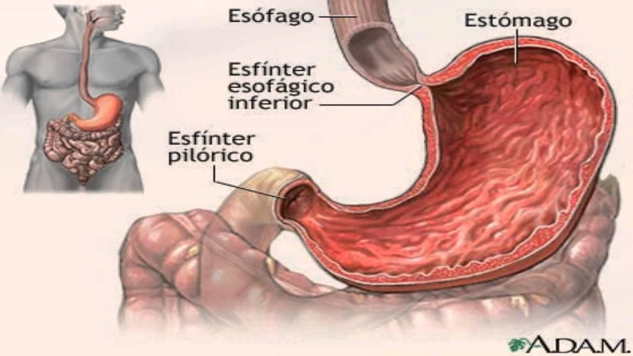 Organos Del Aparato Digestivo