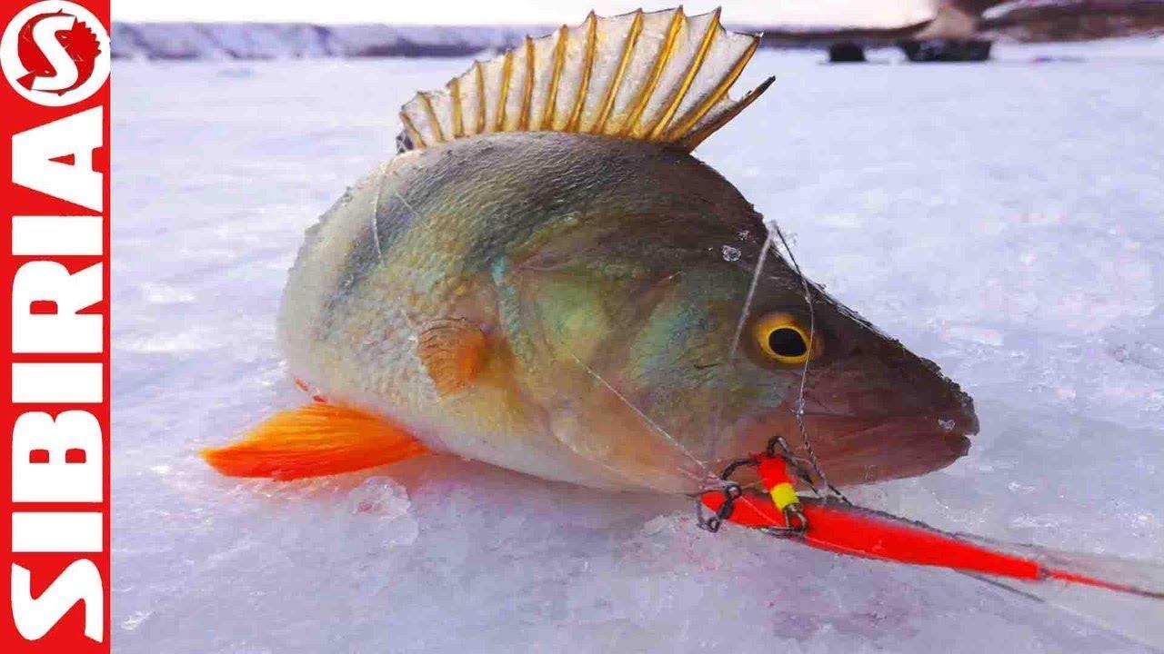 Вот это КАБАНЫ-ОКУНИ!  Ловчая блесна и СУПЕР клев на зимней рыбалке СИБИРИЯ