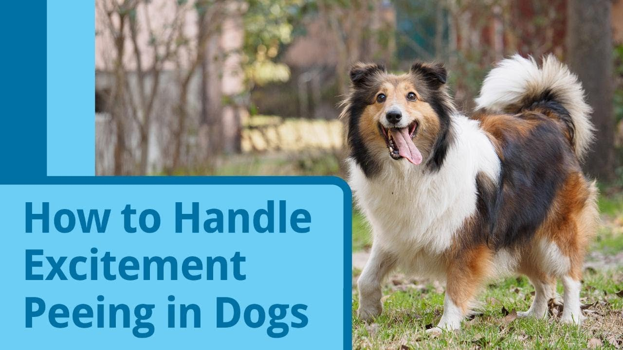 How To Handle Excitement Peeing In Dogs Youtube