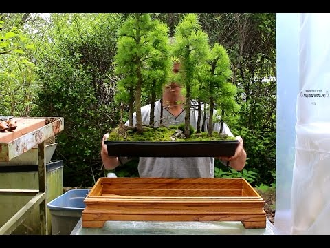 Larch Bonsai Forest May 2015 Youtube