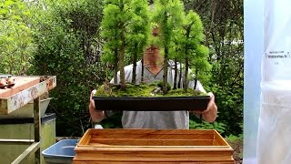 Larch Bonsai Forest,  May 2015