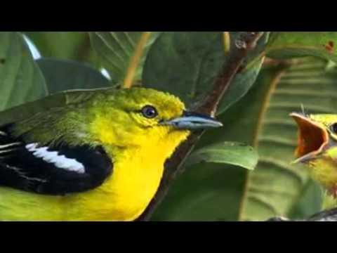 Masteran Burung Diku / Sirtu