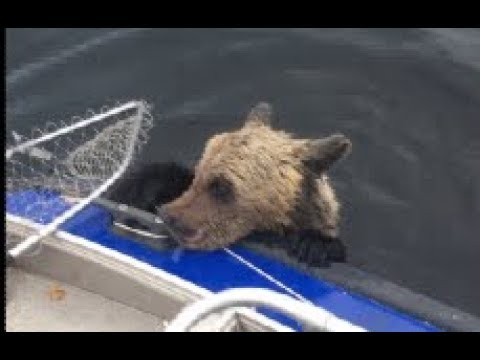Bears On Board Russian Fishermen Save 2 Drowning Cubs