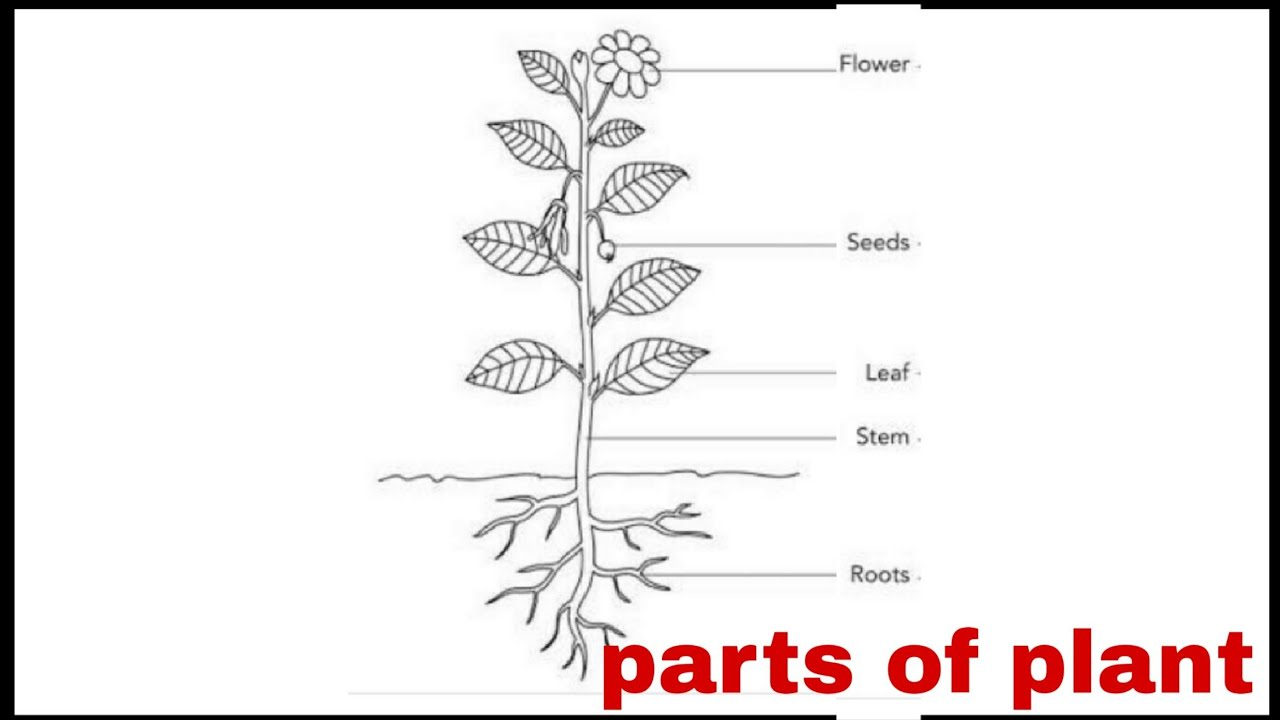 Parts of plant /draw well labelled diagram parts of plant