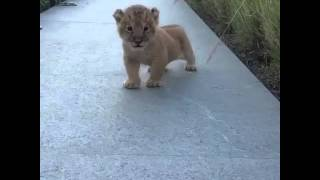 the littlest roar