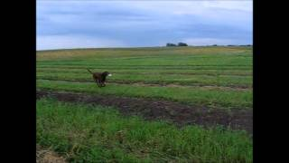 """Lab Retriever """"deke' Fetches Water For Tired Gardener, Peter."""