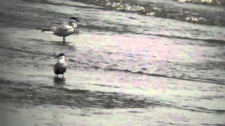 クロハラアジサシ - Whiskered Tern -