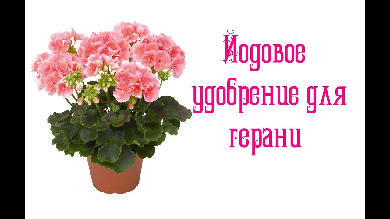 Apple Blossom Rosebud пеларгония - YouTube