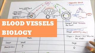 Biology- Blood Vessels