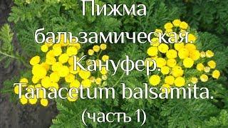 Пижма бальзамическая. Кануфер. Tanacetum balsamita.(часть 1)