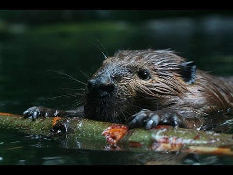How Beavers stop flooding and make rivers better