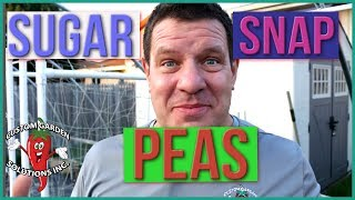 Sugar Snap Peas - How To Grow