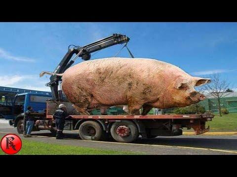 Top 5 Animales comunes en tamaños gigantescos.. Increíblemente solprendente!!