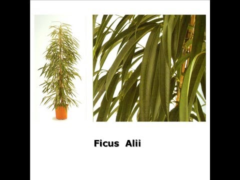 Фикус Али -плачущее дерево