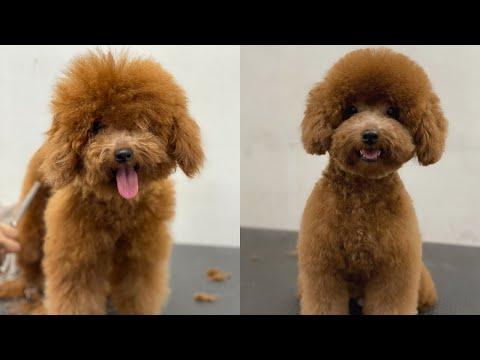 Hướng Dẫn Cắt Tỉa Lông Cho Poodle Cực Dễ Thương | Poodle Grooming So Cute