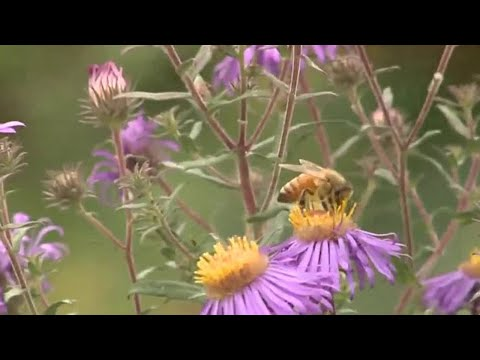 Bumblebee population booming in Detroit