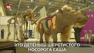 Единственного в мире детёныша шерстистого носорога показывают в Москве