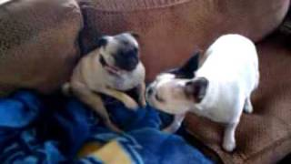 French Bulldog Vs Pug Funny