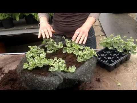 Planting A Hanging Basket With Pelargoniums At Cramden Nursery.co.uk