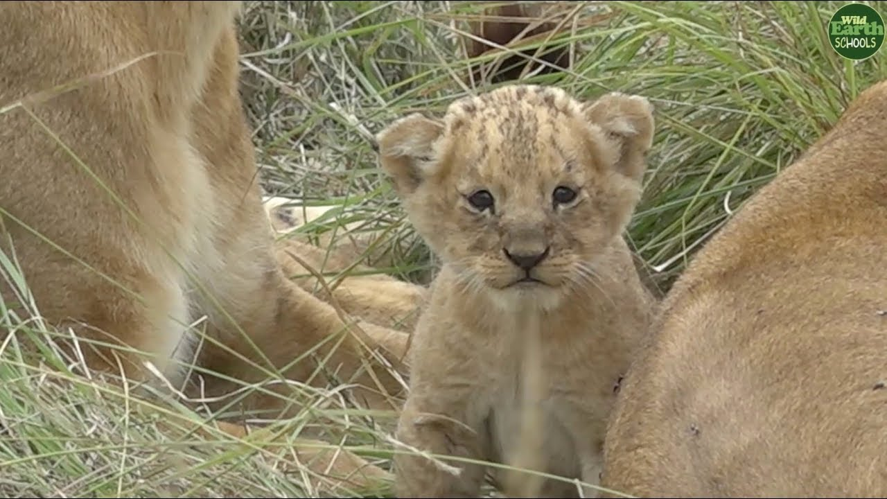 Tiny little lion cub meets its family of aunts!