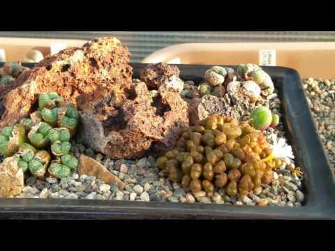 Conophytum dish garden