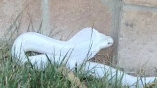 Deadly albino cobra snake loose in Thousand Oaks
