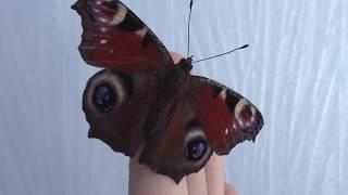 бабочки дома БАБОЧКИ Адмирал и Павлиний глаз