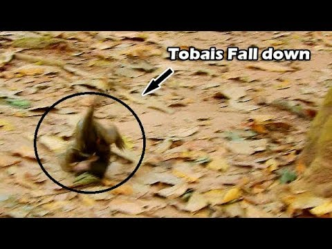 Oh God Help  What Happen With Baby Tobais ? Why Tobais Try Jump Hug Tree Till Fall Like This?