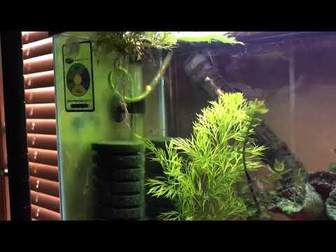 Breeding Ghost Shrimp