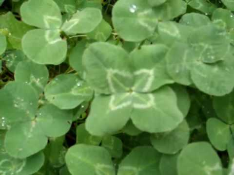 How To Find A Four Leaf Clover Youtube