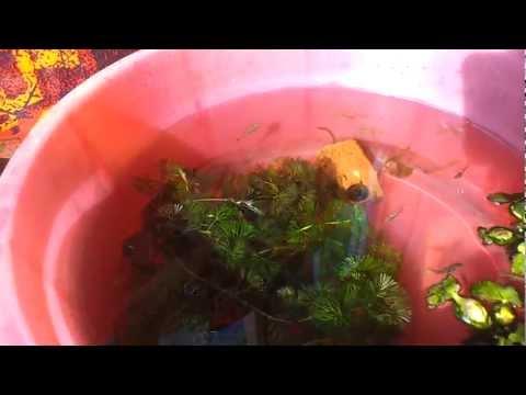 Cá 7 màu thái lan