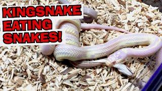 SCALELESS CORN SNAKE! - Ultimate Exotics Reptiles