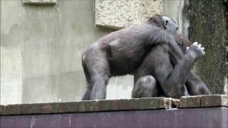 説明 名古屋の東山動物園でゴリラ同志の激しい闘いを 撮ることが出来ま...