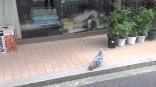 cat vs pigeon