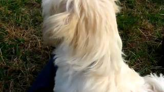 Training Havanese Puppy At Kingskidshavanese.com