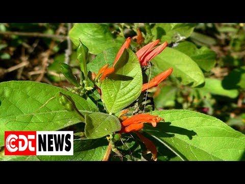 La plante d'insuline, le cadeau de la nature aux diabétiques | CDT NEWS