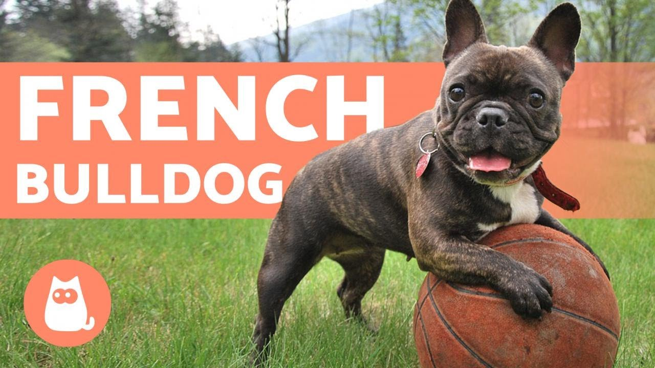 The French Bulldog Training And Care