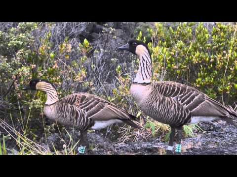 Nene Geese at Hawaii Volcanoes National Park