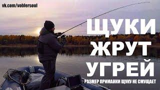 Щуки Жрут Угрей! Размер Приманки для Осенней Щуки. Рыбалка на Озере. Октябрь 2018