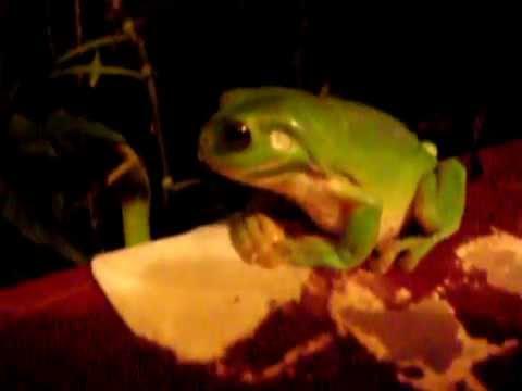 Set Bagno Rana : Australia cairns queensland rana nel bagno youtube