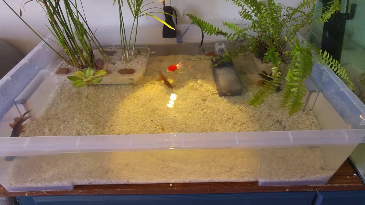 Indoor goldfish container pond huge update youtube for Aquarium fish for pond