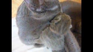 Маленькие котята. Видео про русских голубых кошек