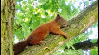 Video Squirrels fooling around a tree download MP3, 3GP, MP4, WEBM, AVI, FLV November 2017