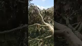 Video Kes tebang pokok durian musang king download MP3, 3GP, MP4, WEBM, AVI, FLV Juli 2018